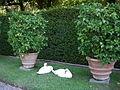 Villa reale di marlia, giardino dei limoni, cigni.JPG