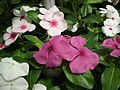Vinca Rosea from Lalbagh flower show Aug 2013 8014.JPG