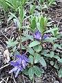 Vinca herbacea sl6.jpg