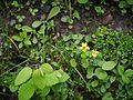 Viola biflora (7845463866).jpg