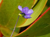 Flower of Viola decumbens