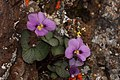 Viola flettii 4801.JPG