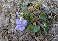 Viola riviniana kz05.jpg