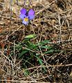 Viola tricolor 1.jpg