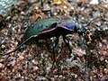 Violet Ground Beetle (Megodontus purpurascens) (8338492392).jpg