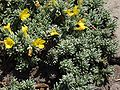 Vitaliana primuliflora a1.jpg