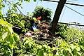 Vogelpark Walsrode - Freiflughalle - Eudocimus ruber 08 ies.jpg