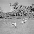 Vrouwen planten rijst op de sawah - Women planting rice on the sawah (4600341253).jpg