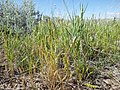Vulpia octoflora (7509701972).jpg