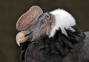 Andean condor - There is a dark red caruncle (or comb) on the top of the head of the adult male.
