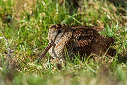Waldschnepfe (scolopax rusticola) - Spiekeroog, Nationalpark Niedersächsisches Wattenmeer.jpg