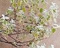Wasp behavior - Helichrysum petiolare 2019 abc2.jpg