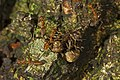 Weaver ants and bagworm larva.jpg