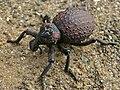 Weevil (Brachycerus sp.) (6046724206).jpg