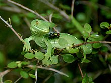 Wellington green gecko.jpg