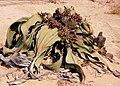 Welwitschia mirabilis01.jpg