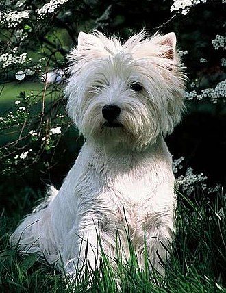 West Highland White Terrier - A Westie