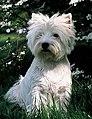 West Highland White Terrier-2.jpg