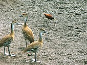 A group of West Indian whistling ducks and a Jacana