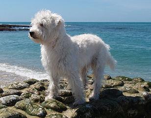 Dog Crossbreed Wikipedia