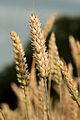 Wheat ear.jpg