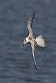 Whiskered Tern (Chlidonias hybrida) (33063174546).jpg