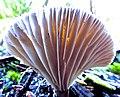 White-Fan Mushroom (15367359858).jpg