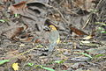White-Throated Ground Thrush-Female (3).jpg