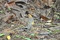 White-Throated Ground Thrush-Female (3).jpg