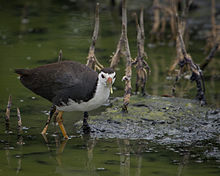 White-breasted Waterhen.jpg