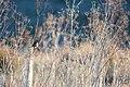 White-crowned sparrow (38472522871).jpg