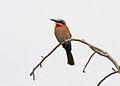 White-fronted Bee-eater (Merops bullockoides) Botswana.jpg