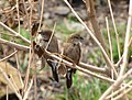 White-throat munia.jpg