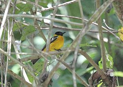 White-winged Shrike-Tanager (Lanio versicolor) (9499689036).jpg