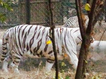 White Tiger In Zoo.jpg