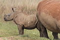 White rhino with young out for a stroll. Pity about the de-horning, this one used to have beautiful horns back when it was safer. (13937278224).jpg