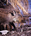 Wild Boar (Sus scrofa cristatus) (19698490344).jpg