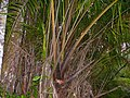 Wild Hill Sago (Eugeissona utilis) spiny base (15635105679).jpg