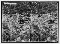 Wild flowers of Palestine. Syrian thistle. LOC matpc.02458.jpg