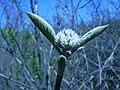 Wild raisin budding (Whitefish I) 3.JPG