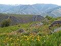 Wildflower Field by Hells Canyon, Wallowa-Whitman National Forest (26800790845).jpg