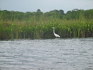 English: Wildlife on Black River, Jamaica