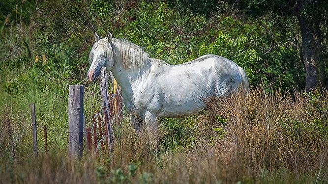 Wildpferd in der Camargue.jpg