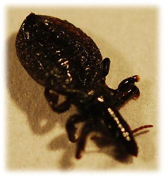 Haematopinus - Haematopinus apri