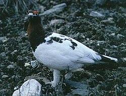 Dalrype (Lagopus lagopus).