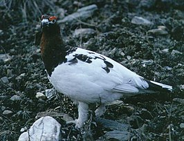 Willow grouse standing.jpg
