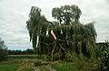 Willow tree, wind broken branch.jpg