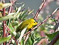 Wilson's warbler on Seedskadee National Wildlife Refuge (36920925132).jpg