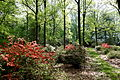 Wister Rhododendron Collection - DSC01788.JPG