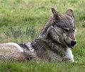 Wolf 2 (5018233188).jpg